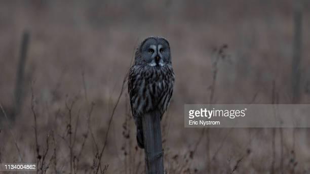 great gray owl - fågel imagens e fotografias de stock