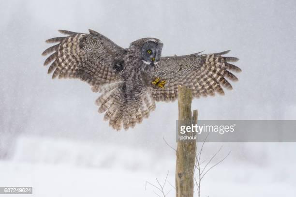 Great gray owl, strix nebulosa, rare bird in flight, landing on post during blizzard