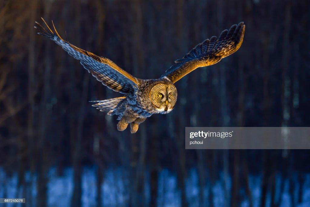 Great gray owl, strix nebulosa, rare bird in flight : Stock Photo