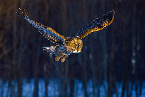 Great gray owl, strix nebulosa, rare bird in flight 687245076