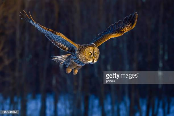 great gray owl, strix nebulosa, rare bird in flight - rare stock pictures, royalty-free photos & images