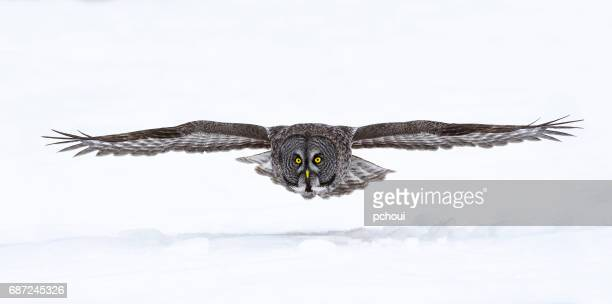 great gray owl, strix nebulosa, rare bird in flight - owl stock pictures, royalty-free photos & images