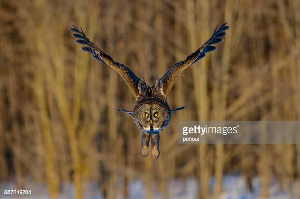 Great gray owl, strix nebulosa, rare bird in flight