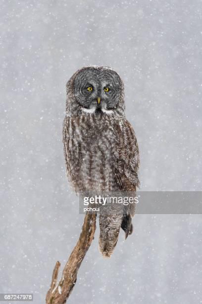 Great gray owl, strix nebulosa, rare bird. perching in snowfall