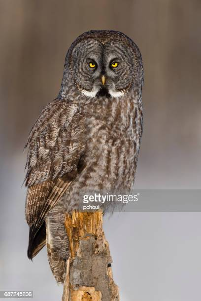 great gray owl, strix nebulosa, rare bird, perching - endangered species stock pictures, royalty-free photos & images