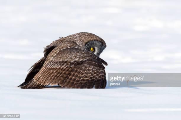Great gray owl, strix nebulosa, rare bird
