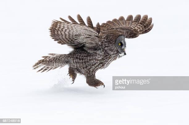 Great gray owl, strix nebulosa, rare bird, running on snow