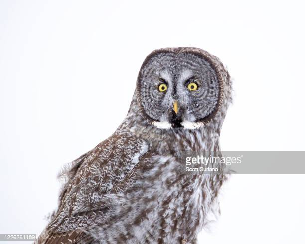 great gray portrait - minnesota stock pictures, royalty-free photos & images