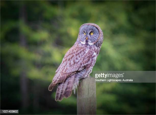 great great owl, kootenay national park, alberta, canada. - canadian rockies stock pictures, royalty-free photos & images