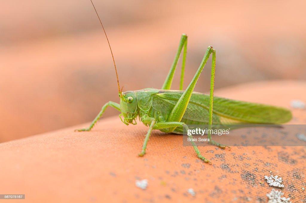 Great green bush-cricket : Stock Photo
