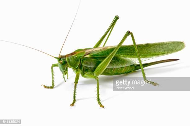 great green bush-cricket (tettigonia viridissima) - cricket insect stock pictures, royalty-free photos & images