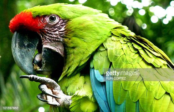 A great green macaw perches on a branch on June 3 2010 at Zoo Ave in La Garita de Alajuela some 30 km northwest of San Jose The Zoo aimed at the...