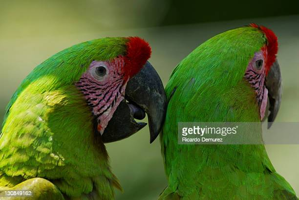 Great Green Macaws (Ara ambiguus)
