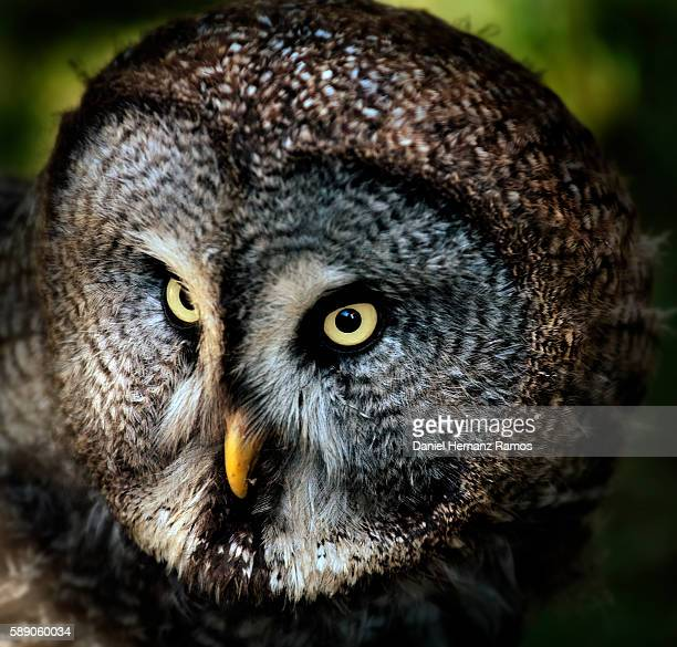 Great grey owl close up face detail. Owl eyes. Carabo lapon
