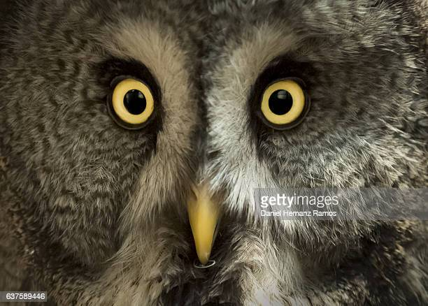 Great grey owl close up face detail. Owl eyes.