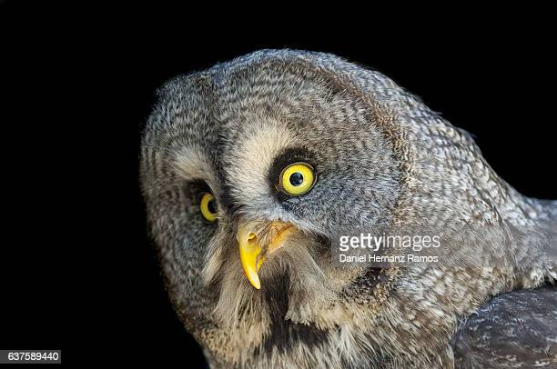 Great grey owl close up face detail with black background. Owl eyes.