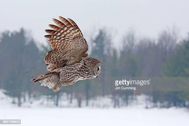 Great grey owl flies past me