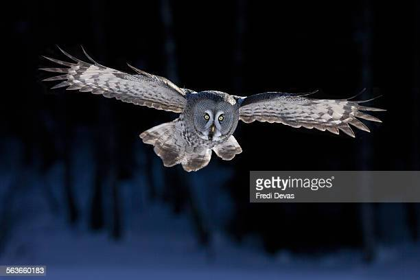 Great Grey Owl flying - BBC Frozen Planet