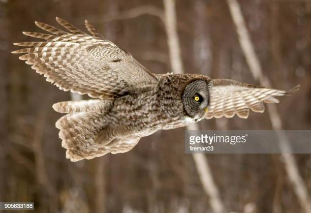 Great grey owl flying mid air, Montreal, Quebec, Canada