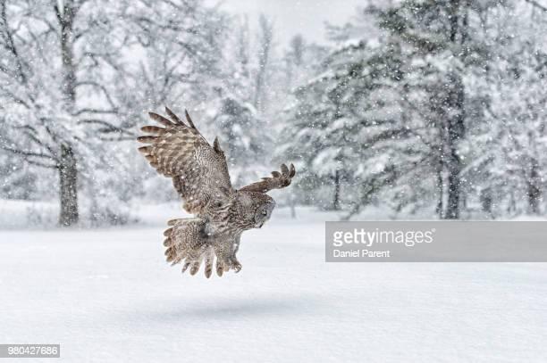 great grey owl flying over snow - raubvogel stock-fotos und bilder