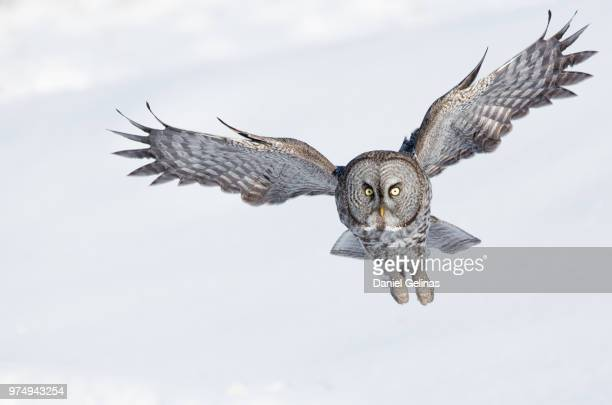 Great Grey Owl flying, Quebec, Canada