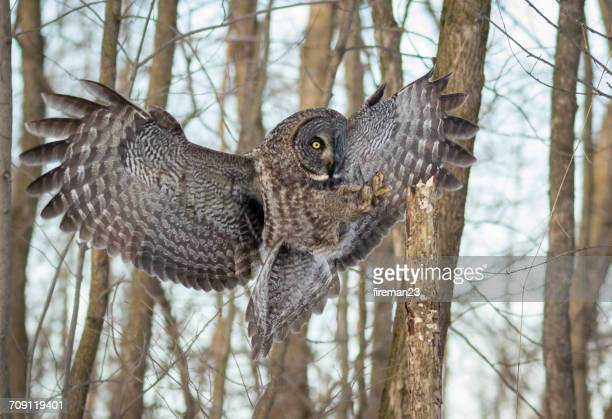 Great grey owl in flight, Montreal, Canada
