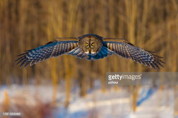 great grey owl in flight - quebec stock pictures, royalty-free photos & images