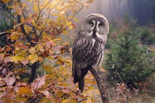 Great grey owl in forest, Strix Nebulosa 956137982