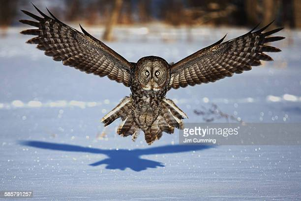 Great grey owl in your face