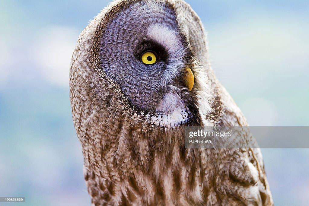 Great grey owl of Lapland : Stock Photo