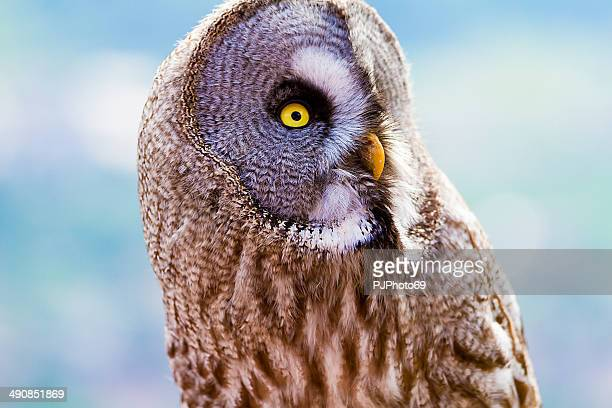 Great grey owl of Lapland