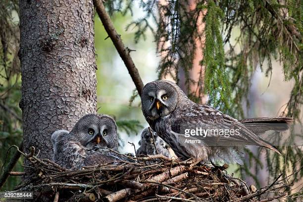 Great grey owl pair feeding chicks in nest in boreal forest Sweden