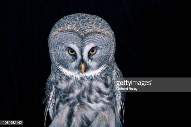 great grey owl - animal themes stock pictures, royalty-free photos & images