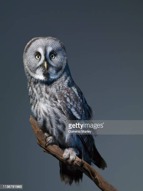 great grey owl - owl stock pictures, royalty-free photos & images