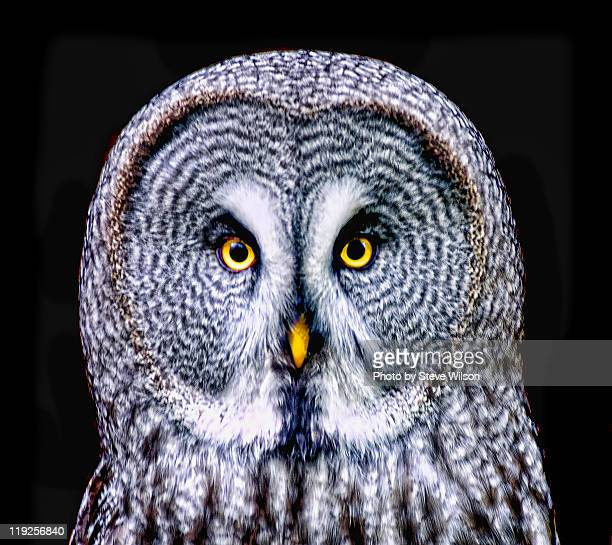 great grey owl - chester zoo stock pictures, royalty-free photos & images
