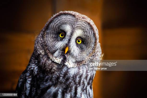 great grey owl - wisdom stock pictures, royalty-free photos & images