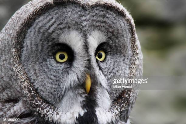 great grey owl - czech hunters stock pictures, royalty-free photos & images