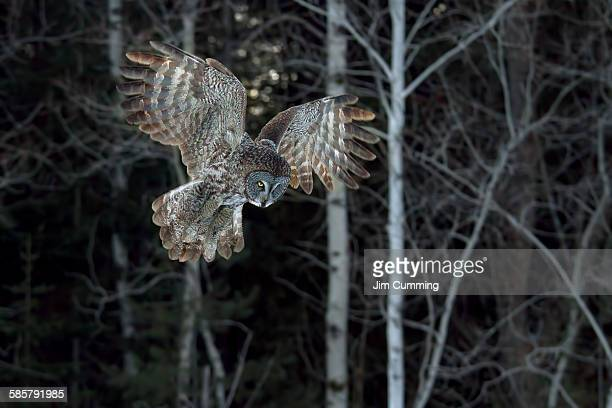 Great grey owl swoops down