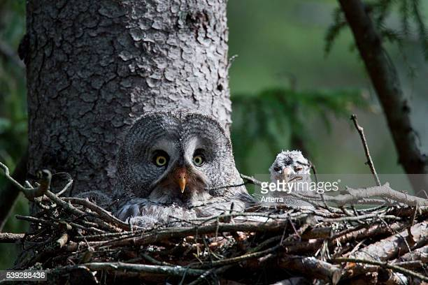 Great grey owl with chick in nest in boreal forest Sweden
