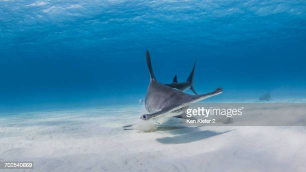 great hammerhead digging in sand for fish parts, nurse shark in background, underwater view - nurse shark stock photos and pictures