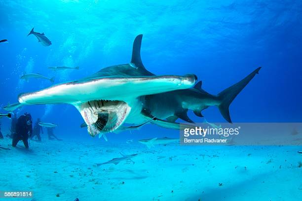 great hammerhead feeding