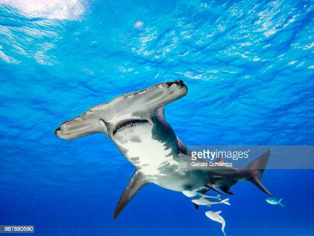 Great Hammerhead from below