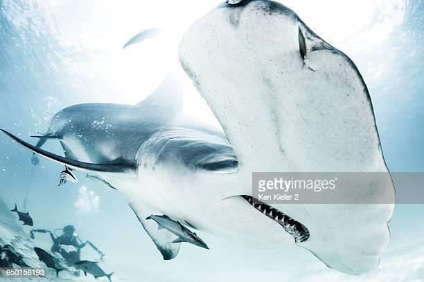 Great Hammerhead Shark, diver in background
