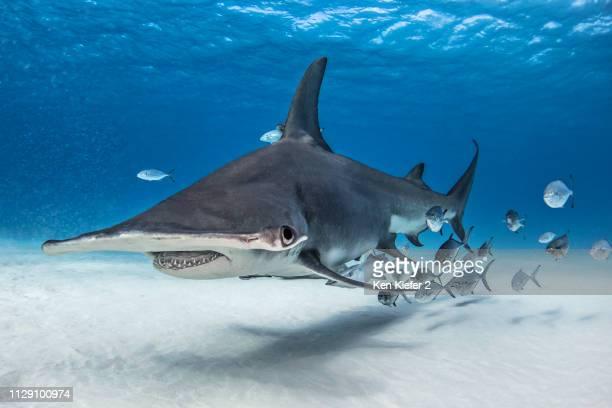 great hammerhead shark in shoal of fish, alice town, bimini, bahamas - bimini stock photos and pictures