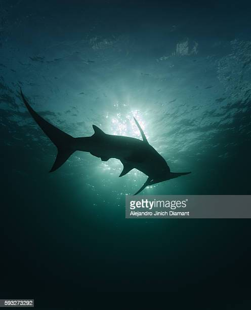 great hammerhead shark silhouette - hammerhead shark stock pictures, royalty-free photos & images
