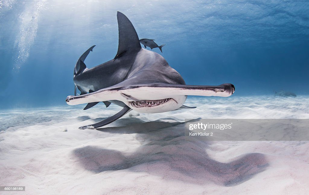 Great Hammerhead Shark swimming near seabed : Stock Photo