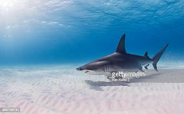 Great Hammerhead Shark swimming near seabed