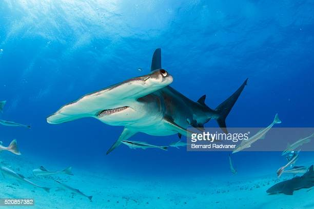 great hammerhead shark swimming towards us
