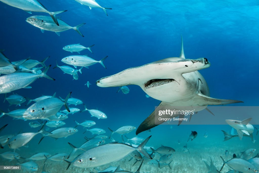 Great Hammerhead Shark Swims through school of fish : Stock Photo