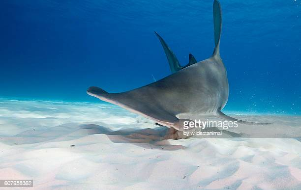 Great hammerhead Shark Underwater